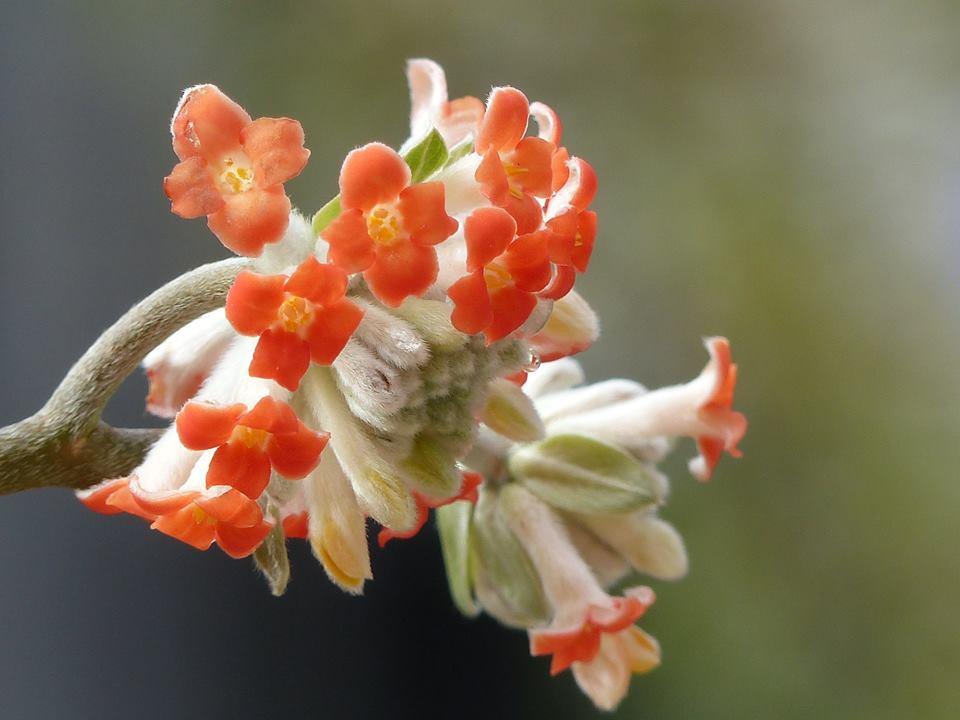 Der duftende aber frostempfindliche Edgeworthia chrysantha ´Red Dragon`